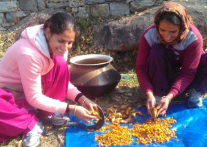 Harvesting Tumeric